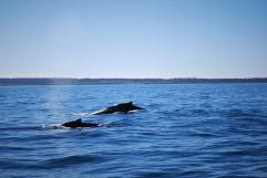 Whales in Bay of Fundy
